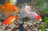 Coeur artificiel et poissons rouges