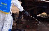 Virus Ebola : des chiens errants mangent des restes de victimes et constituent un nouveau vecteur de propagation