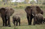 Un éléphant africain sur cinq a disparu