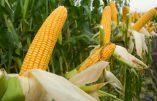 Mauvais grain sur le maïs