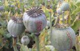 L'Afghanistan, champ d'opium du monde
