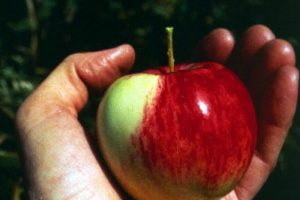 Science talmudique:  «Sur le pommier les fruits apparaissent avant les feuilles»
